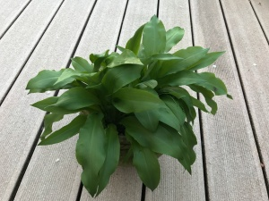 Ramson (or Wild Garlic)