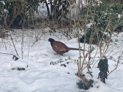 Pheasant in Amsterdam ©cadwu